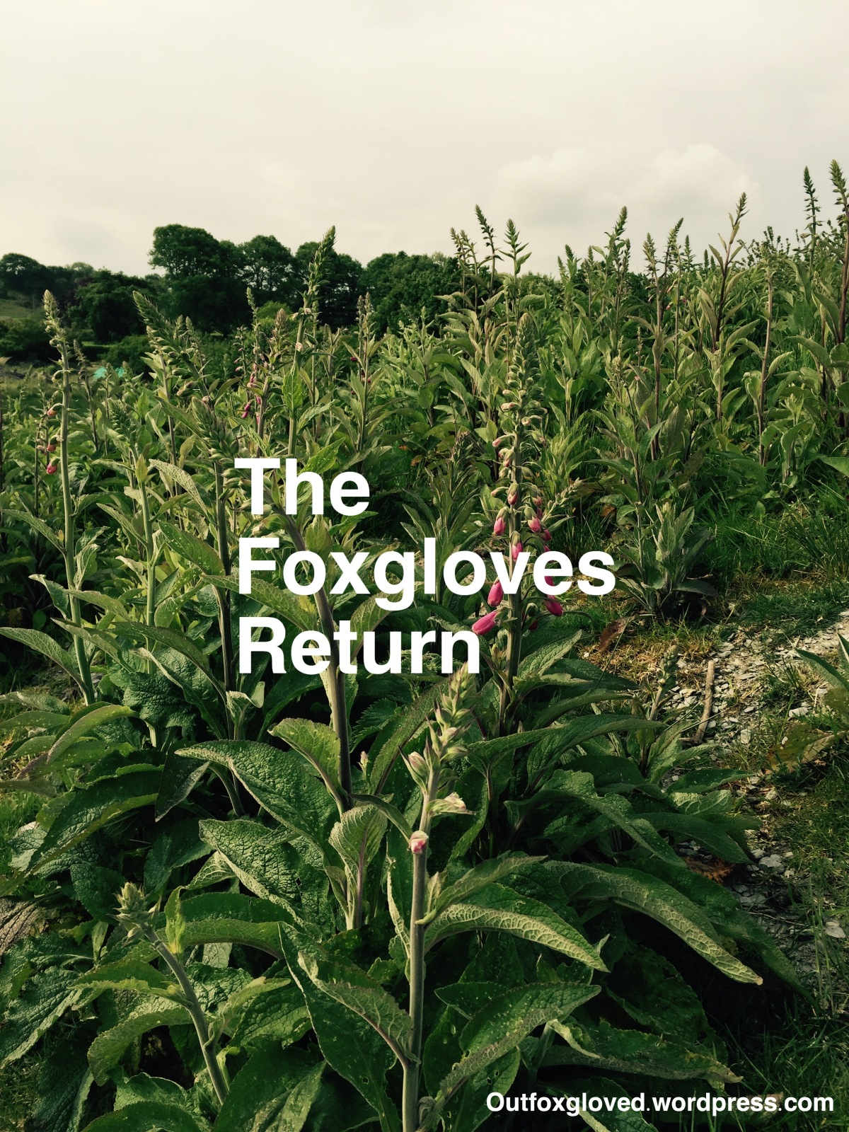 The Foxgloves Return